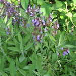Salvia Officinalis (Kadulja)